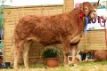 Reserve honours at National Limousin Show