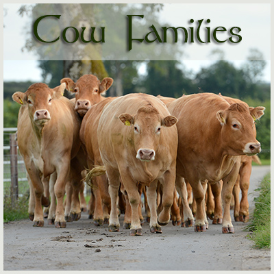 Cow Families